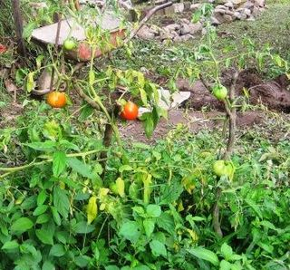 Tomatoes Grafted on a Weed