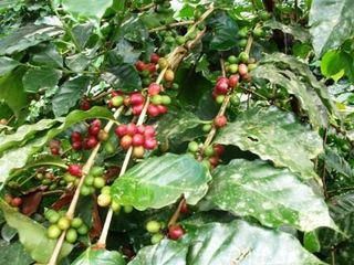 Coffee Harvest Starting