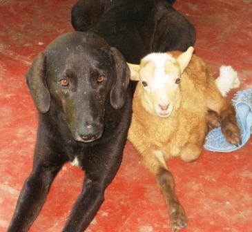 Chepito the Sheep Dog with Watchie
