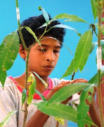 Learning to Graft a Mango Tree