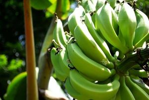We Love Bananas